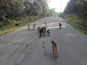 Ziegenherde auf dem Weg zum Weiden