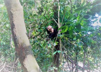 Capuchinoaffe bei Fressen