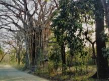 Riesenbaum bei Cabuya