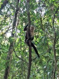verärgerter Capuchinoaffe