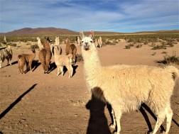 neugierige Lamas